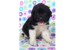 Picture of AKC Newfoundland-Cooper