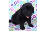 Picture of AKC Newfoundland-Dillon