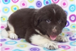 Picture of AKC Newfoundland-Gus