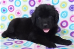 Picture of AKC Newfoundland-Oden