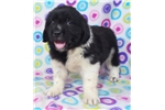 Picture of AKC Newfoundland-Duncan