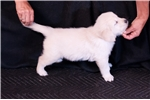 Picture of English Golden Retriever Male Puppy