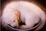 Picture of English Golden Retriever Female Puppy