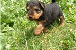 Picture of WELSH terrier female
