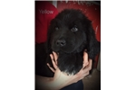 Picture of Yellow Collar Male Newfoundland Puppy