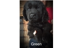 Picture of Green Collar Male Newfoundland Puppy