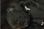 Newfoundlands for sale