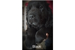 Picture of Black Collar Male Newfoundland Puppy