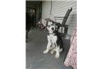 Picture of AKC Siberian Puppy for sale!