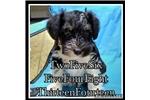 Picture of CKC Miniature Schnauzer puppies