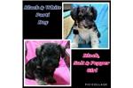 Picture of Registered Miniature Schnauzer puppies