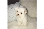 Picture of Teacup Male Maltese