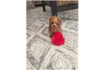 Picture of Buttercup the toy poodle