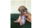 Chinese Crested for sale
