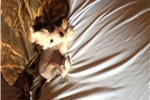 Picture of Chinese crested