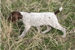 Picture of AKC German Shorthaired Pointer Male Puppy