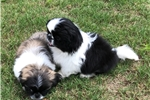 Picture of Pekingese male