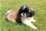 Picture of Perfect Pekingese