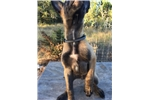 Picture of AKC Belgian Malinois Puppy 10 weeks