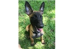Picture of Belgian Malinois Puppy 14 Weeks!