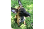 Picture of AKC Belgian Malinois Puppy 13 weeks