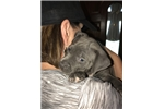Picture of UKC Purple Ribbon Bred Female blue pit
