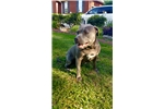 Picture of Beautiful Blue UKC REGISTERED MALE