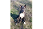 Picture of Beautiful Purple Ribbon Bred Blue Puppy
