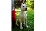 Picture of Dogo argentino puppy Aston de Caza Fiel