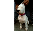 Picture of Dogo argentino female puppy Alba de Caza Fiel