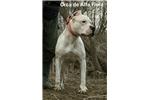 Picture of Dogo argentino puppy Auro de Caza Fiel