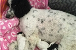 Picture of Poodle kisses