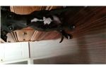 Picture of Italian greyhound for sale