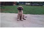 Picture of Male Champion Bloodline AKC English Mastiff puppy