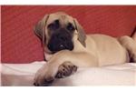Mastiffs for sale