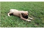 Picture of English Mastiff (Female)Champion Bloodline Puppies