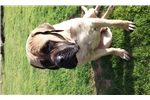 English Mastiff Male  | Puppy at 20 months of age for sale