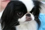 Picture of  boy Japanese chin