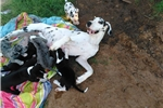 Picture of 100% EURO AKC Great Dane babies