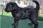 Picture of Black Female F1 Bordoodle