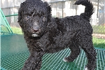 Picture of Chocolate Female F1 Bordoodle