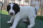Picture of Party Poodle (white & brown) F1 Bordoodle