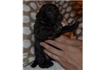 Picture of F1 Bordoodle Bred for Intelligence & Temperament
