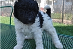 Picture of White and Black Female F1 Bordoodle