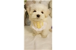 Picture of Beautiful baby Maltese