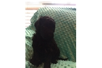 Picture of Stunning Black F1BB Female Labradoodle