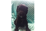 Picture of Beautiful Abstract F1bb Female Labradoodle