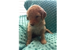 Picture of Sweetest Creme F1bb Labradoodle