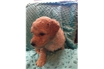 Picture of Fluffy, Creme, and Oh So Sweet Male Labradoodle