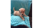 Picture of Soft and Beautiful Creme F1bb Female Labradoodle